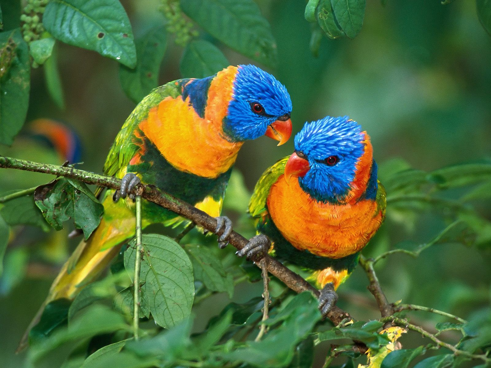 Twigle Bird Song Id